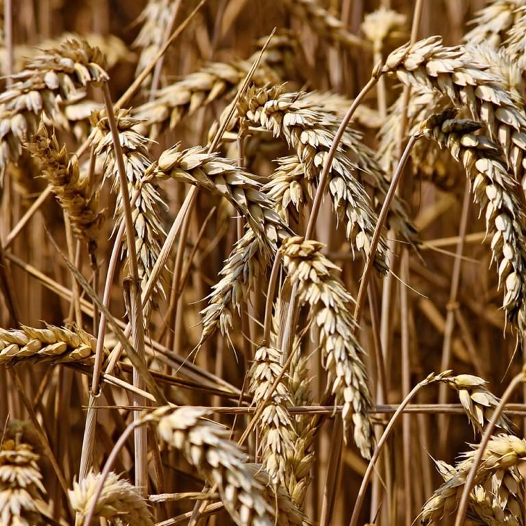 Grani e cereali antichi - Il sapore del grano - i nostri dolci vegani